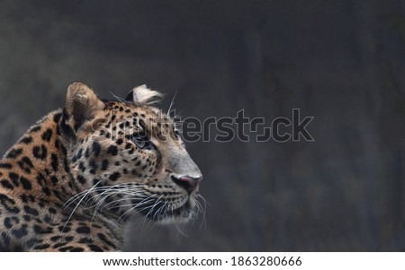 Gorgeous leopard with a straight confident look close up on a dark background Royalty-Free Stock Photo #1863280666