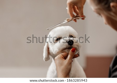 cropped shot of a young blonde pet beautician and white purebred bichon. Grooming of white dog. Royalty-Free Stock Photo #1863285943