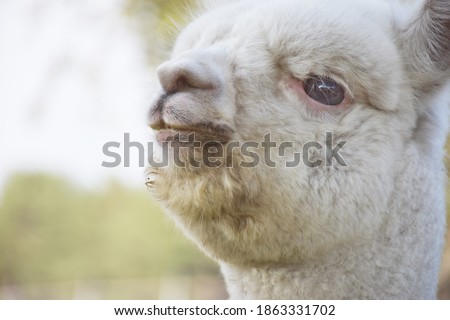 Adorable white Alpaca is happy to enjoy the weather outdoor. close up picture. background and copy space.