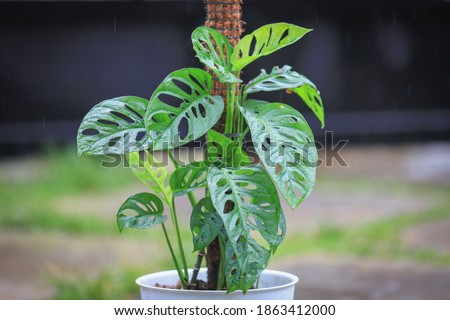 Monstera Acuminata, Monstera Adansonii, Monstera Obliqua are plants that are currently popular in Indonesia as Janda Bolong, Rondo Bolong or Janbol.The Swiss Cheese plant or Five Holes Plant. Royalty-Free Stock Photo #1863412000