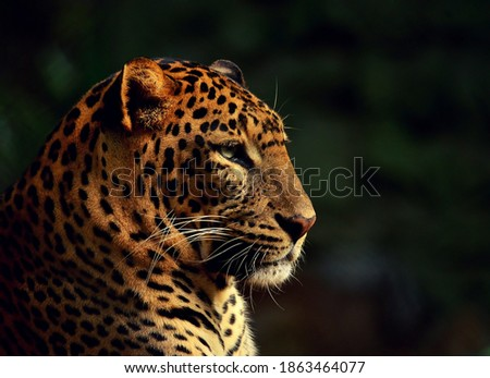 Portrait picture of a leopard in golden hour