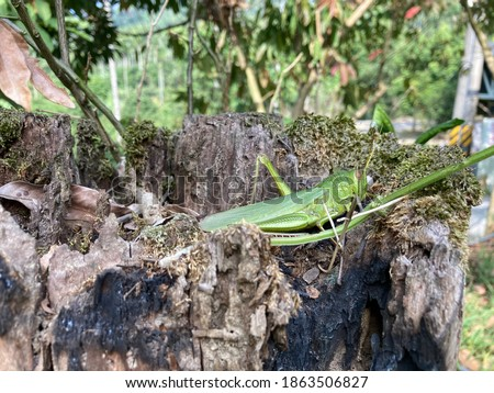 Large grasshopper sitting on top of a tree stump in Fanlu Township, southern Taiwan. On a morning hike in Chiayi County in November 2020 this enormous grasshopper kindly posed for pictures.