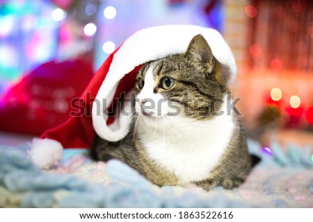 New year cat profile in Christmas red hat with white border on hat. Big cat at home decorated for winter party. Pet at home. Portrait of animal. Post card picture. Celebrating winter party. Xmas