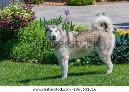 Dog Siberian husky picture stock photo
