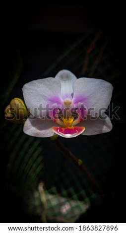 A beautiful picture of dove orchid