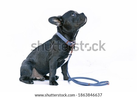 Young black French Bulldog dog with long healthy nose wearing a blue synthetic leather collar and leash set on white background Royalty-Free Stock Photo #1863846637