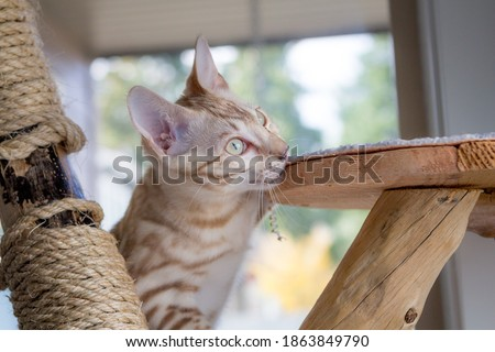 Seal Mink Bengal Cat vs Cat Tree Royalty-Free Stock Photo #1863849790
