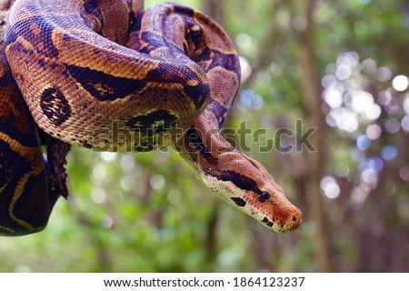 The boa constrictor (Boa constrictor), also called the red-tailed or the common boa on a branch in the middle of the forest. A large snake on a branch in the green of a bright forest. #1864123237