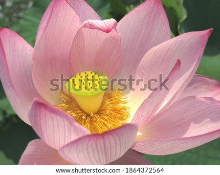 I take a picture of a flower of a full-blown lotus.