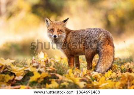 Gentle red fox, vulpes vulpes, standing on orange foliage in autumn nature. Orange beast observing in fall woodland. Wild fluffy mammal looking to the camera on grass with leaves. Royalty-Free Stock Photo #1864691488