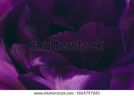 Toned macro photo of purple tulip flower petals. Botanical background Royalty-Free Stock Photo #1864797685