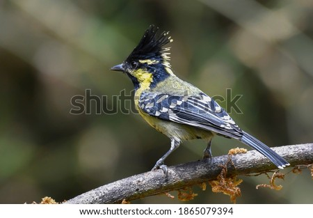 The Indian black-lored tit, Indian tit, or Indian yellow tit is a passerine bird in the tit family Paridae #1865079394