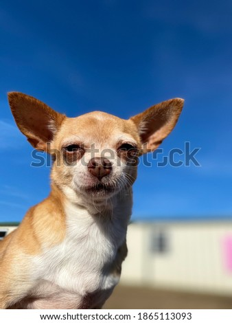 Adorable tiny purebred chihuahua with shiny golden fur posing for a picture with a rich blue sky background