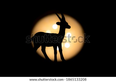 full gazelle little offset photographed with bright light in background and with short shutter speed with clear shadow
