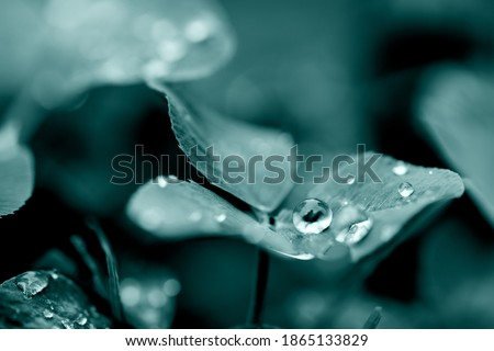 Four-leaf clover leaves with dew drops. Transparent water drop on leaf, macro. Big droplet of morning dew outdoor. Purity of nature concept. Waterdrops on grass. Tidewater green Royalty-Free Stock Photo #1865133829
