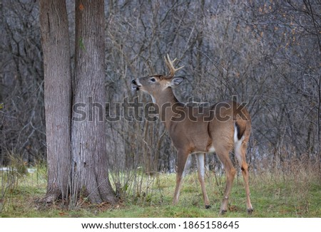 White-tailed deer buck closeup in a autumn meadow in Canada Royalty-Free Stock Photo #1865158645