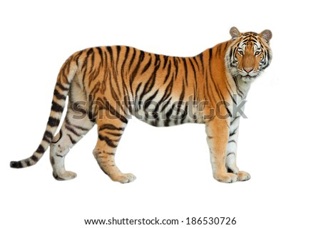 Tigers are in the nature of the country. #186530726