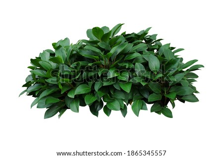 Green leaves hosta plant bush, lush foliage tropic garden plant isolated on white background with clipping path. Royalty-Free Stock Photo #1865345557