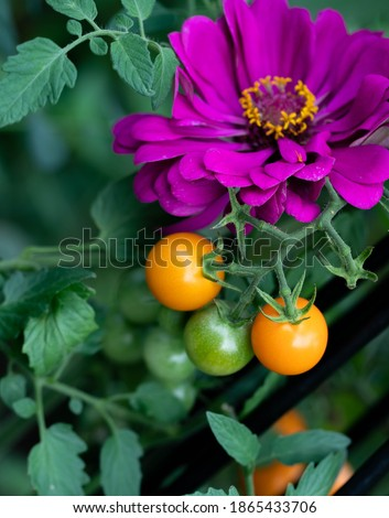 Companion planting of amethyst zinnia with sun gold cherry tomatoes are a perfect combination. Zinnias deter cucumber beetles and tomato worms. They attract predatory wasps and hover flies. Royalty-Free Stock Photo #1865433706