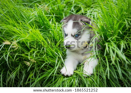 Blue eyes siberian husky puppy lying and looking on green grass Royalty-Free Stock Photo #1865521252