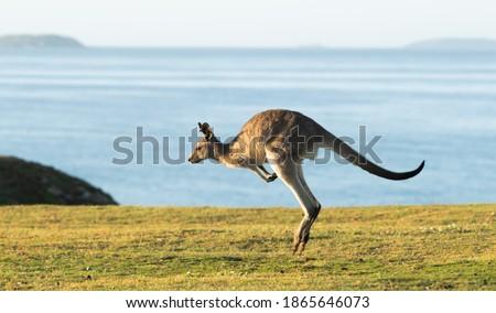 Eastern Grey Kangaroos at Dawn