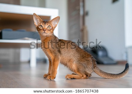 Abyssinian cat at home with her owner at home. Beautiful purebred short haired kitten. Royalty-Free Stock Photo #1865707438