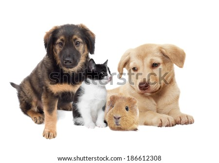 kitten and puppy and guinea pig  #186612308