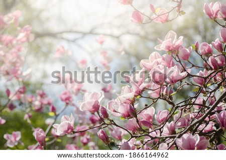 Beautiful magnolia tree blossoms in springtime. Jentle magnolia flower against sunset light. Romantic creative toned floral background.