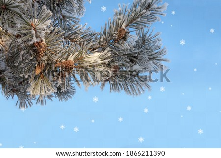 A close-up pine branch with cones covered with frost. The image is isolated on a light blue background with snowflakes.