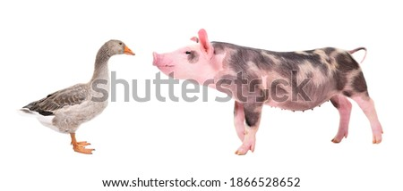 Funny little pig sniffing a goose  standing isolated on white background Royalty-Free Stock Photo #1866528652
