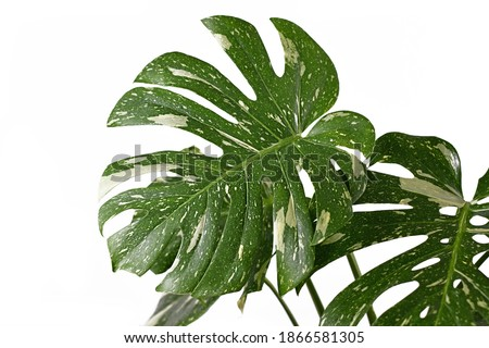Large white sprinkled leaf of rare variegated tropical 'Monstera Deliciosa Thai Constellation' houseplant with fenestration isolated on white background Royalty-Free Stock Photo #1866581305