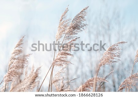 Pampas grass on the lake, reed layer, reed seeds. Golden reeds on the lake sway in the wind against the blue sky. Abstract natural background. Beautiful pattern with neutral colors. Selective focus.