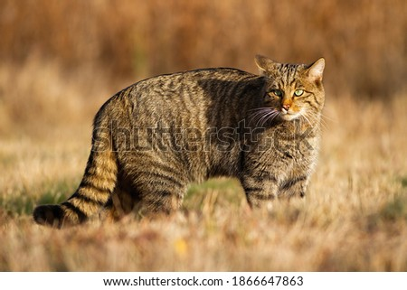 European wildcat, felis silvestris, hunting on the dry field in autumn. Alert wildcat staring and observing the surroundings of the grassy meadow. Tabby cat with beautiful eyes in the wilderness. Royalty-Free Stock Photo #1866647863