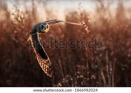 Short eared owl in flight hunting