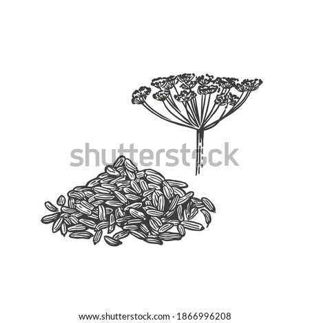 Vector sketch illustration of fennel. Hand drawn kitchen herb Royalty-Free Stock Photo #1866996208