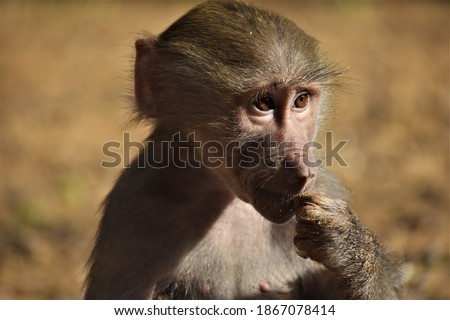 Baby hamadryas baboon. A species of baboon from the Old World monkey family. It is the northernmost of all the baboons, being native to the Horn of Africa.