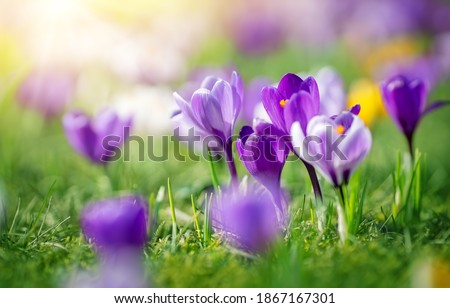 Closeup view of the spring flowers in the park. Crocus blossom on beautiful morning with sunlight in the forest in april Royalty-Free Stock Photo #1867167301