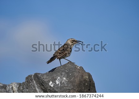 Galápagos mockingbird, Mimus parvulus, one of four mockingbird species endemic to the Galápagos Islands, sitting on the lava rocks of the islands