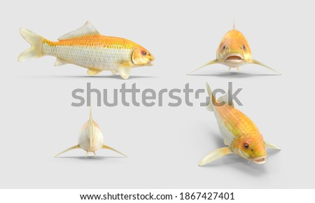 set of Yellow Koi Ogon Fish. Hikarimujimono fancy carp collection. isolated on white background. 3d illustration. different angles back side perspective view. clipping mask