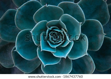 Close up of a teal cactus. Teal cactus leaves. Tidewater green background. Cactus plant  pattern wallpaper. Succulent plant patterns. Details of a succulent leaves. Succulent bloom. Royalty-Free Stock Photo #1867437760