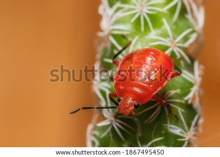 Red stinkbug nymph posing for a close-up picture in my garden
