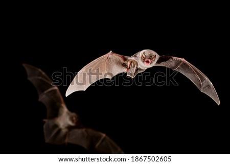 Chiropterans, commonly known as bats, are an order of placental mammals whose upper extremities developed into wings. Los quirópteros, conocidos comúnmente como murciélagos, son un orden de mamíferos Royalty-Free Stock Photo #1867502605