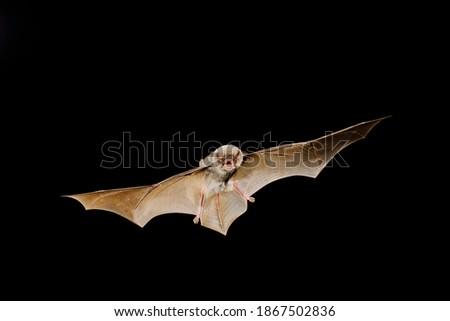 Chiropterans, commonly known as bats, are an order of placental mammals whose upper extremities developed into wings. Los quirópteros, conocidos comúnmente como murciélagos, son un orden de mamíferos Royalty-Free Stock Photo #1867502836