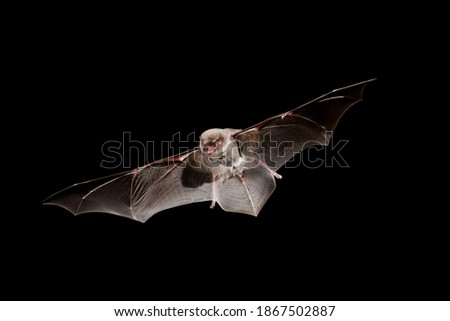 Chiropterans, commonly known as bats, are an order of placental mammals whose upper extremities developed into wings. Los quirópteros, conocidos comúnmente como murciélagos, son un orden de mamíferos Royalty-Free Stock Photo #1867502887