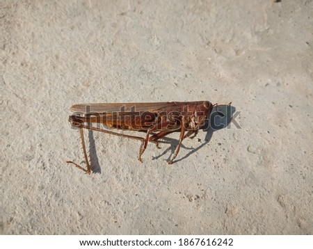 picture of a dead differential grasshopper on floor.
