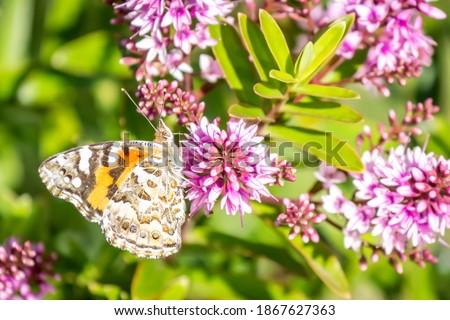 Australian Painted Lady Butterfly Feeding on Hebe Wiri Charm Flowers, Romsey, Victoria, Australia, November 2020 Royalty-Free Stock Photo #1867627363