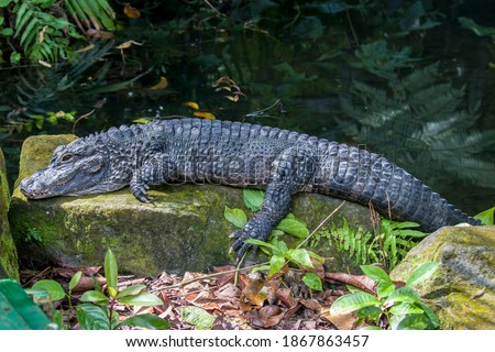 The closeup image of Chinese alligator (Alligator sinensis). A critically endangered crocodile endemic to China.  Dark gray or black in color with a fully armored body. Royalty-Free Stock Photo #1867863457