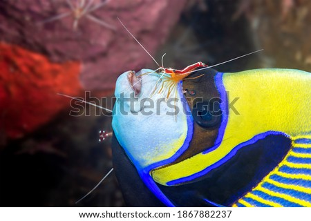 A very colorful emperor yellow and blue angelfish at a cleaning station where the white striped cleaner shrimp eat the parasites that attach to the angelfish.   Royalty-Free Stock Photo #1867882237