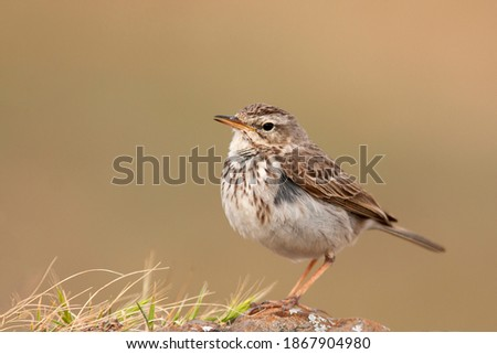 Berthelot's Pipit, Canarian Pipit (Anthus berthelotii) in its natural habitat at Sao Lorenzo, Madeira, Portugal Royalty-Free Stock Photo #1867904980