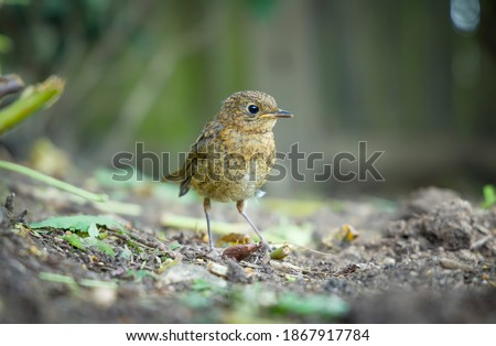 Juvenile robin or young baby European robin (erithacus rubecula) in a garden in spring, UK  Royalty-Free Stock Photo #1867917784